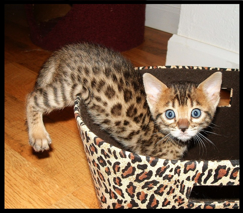 The Bengal Cat Den: new mexico bengal cats, kittens, breeders
