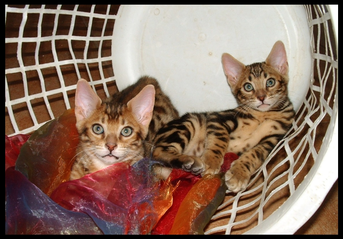 the bengal cat den new mexico bengal cats kittens breeders