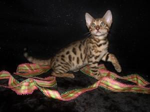 06-27-16,  9 week RainDrops kittens 001