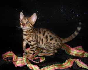 06-27-16,  9 week RainDrops kittens 002