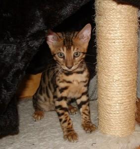 07-17-16, RainDrops kittens at 12 weeks! 010