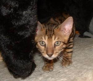 07-17-16, RainDrops kittens at 12 weeks! 027