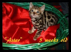 Aster in basket