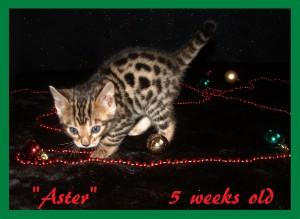 Aster, playful