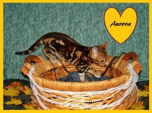 Aurora basket1