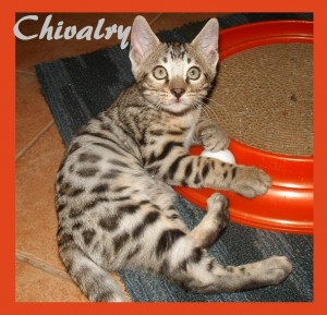 Chivalry playing on scratcher, ball toy