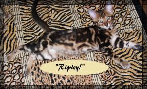 Ripley on Bengal rug