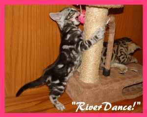 RiverDance, chewing toy