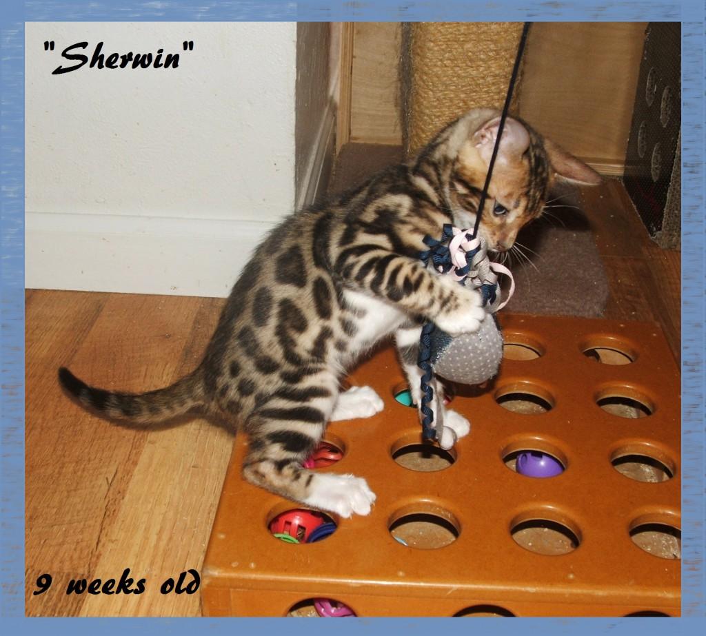 Sherwin playing