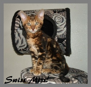 Swiss Miss, sitting on cat tree